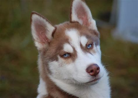 husky breed siberian husky 9 1 jpg breeds picture