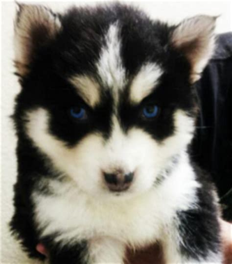 how much are pomsky puppies how much are pomsky puppies memes