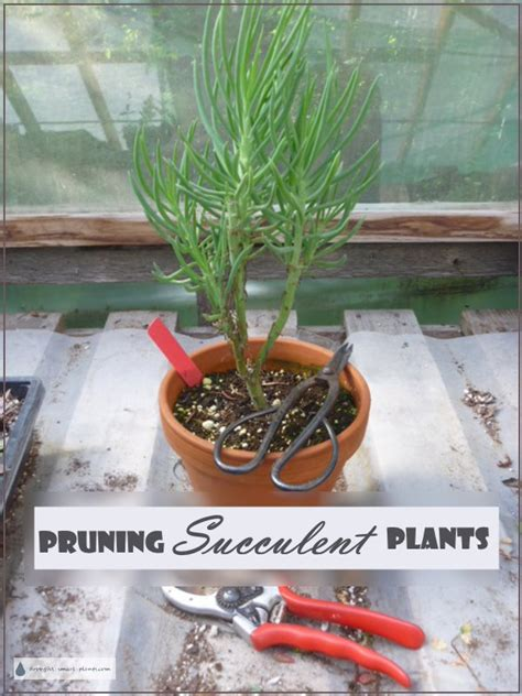 pruning succulent plants shaping propagation or disease