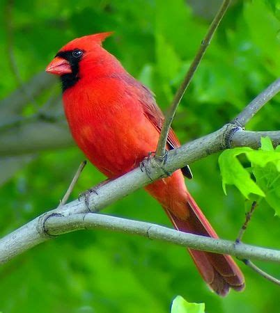songbird mel attracting cardinals video tips on how to