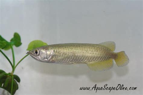 aquascape online how to make a jardini s color nicer arofanatics fish talk forums