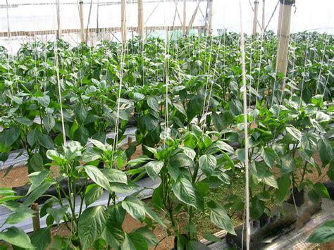 menanam lavender hidroponik alfie pridmore sawi termasuk tanaman sayuran