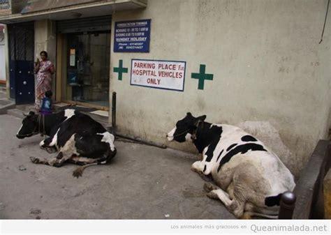 imagenes graciosas vacas vacas 161 qu 233 animalada las fotos los v 237 deos y los gifs