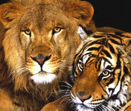 Inidia Cat 23 지구상서 가장 큰 고양이과 동물 라이거 네이버 블로그