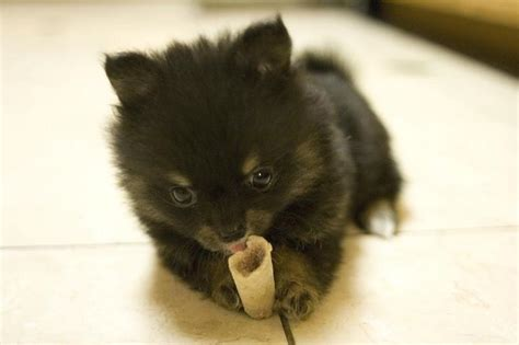 pomeranian black puppies small black pomeranian puppy biting its bone jpg 2 comments