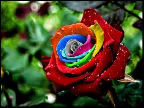 rainbow colored roses wallpapers unique wallpaper