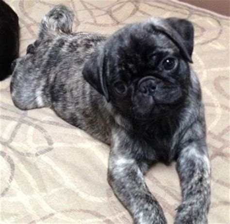 pug rescue washington state brindle boxer pug mix breeds picture