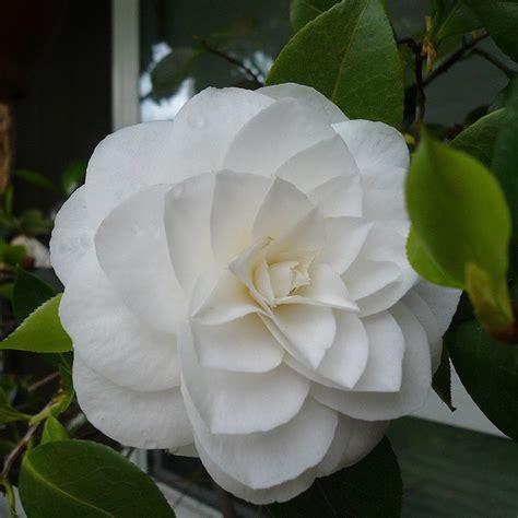 white camellia beautiful flowers pinterest