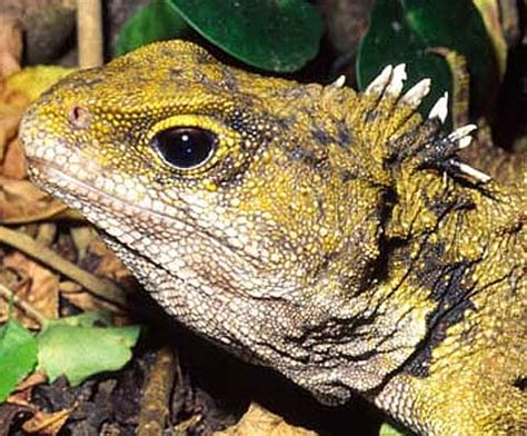 tuatara the lizard that isn't | animal pictures and