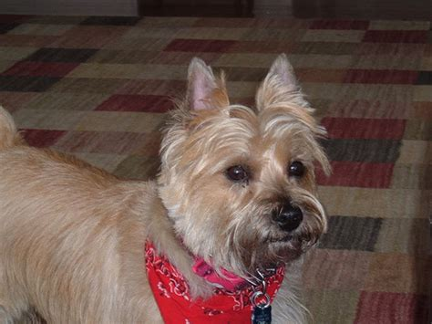 cairn terrier cut styles haircuts for cairn terriers hairstylegalleries com