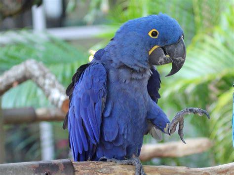 file hyacinth macaw rwd2 jpg