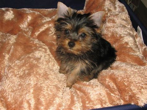 yorkie definition teacup yorkie terrier miniature yorkies breeder terriers auto design tech