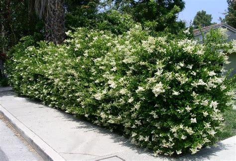 siepe da giardino sempreverdi siepe ricante sempreverde siepi caratteristiche