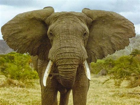 best of nature why some animals have larger ears than their counterparts