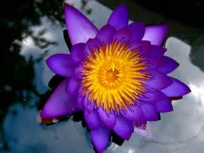 Purple Lotus Purple Lotus By Reeldrlaura Photo Weather Underground