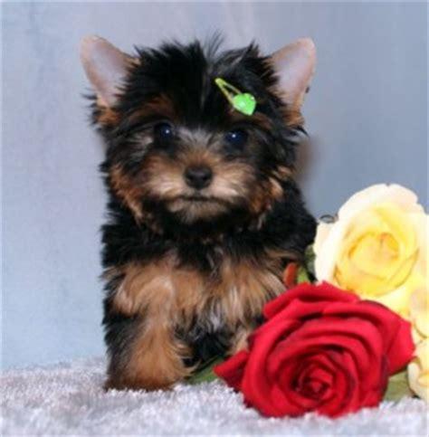 free puppies sc dogs mauldin sc free classified ads