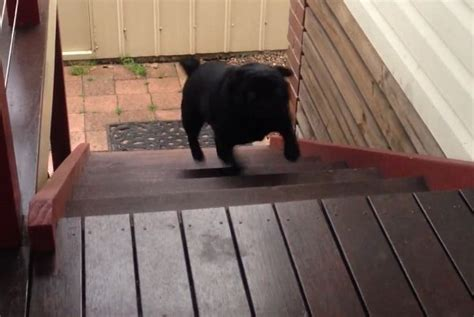 pug hopping up stairs pug stair climb win it s hilarious