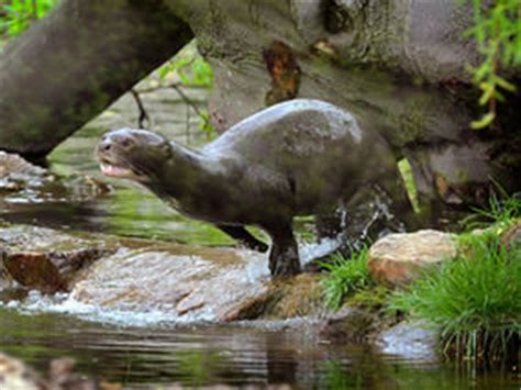 otter takes leap in new habitat news