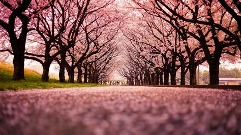 wallpaper hd 1920x1080 japan japan trees peach wallpaper 1920x1080 301388 wallpaperup