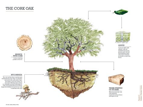 trees in cork realcork cork oak