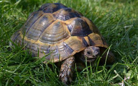 alimentazione tartarughe di terra piccole testudo valdarno allevamento di tartarughe e