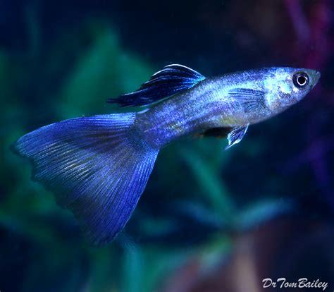 Guppy Blue Moscow Promo guppies for sale aquariumfish net