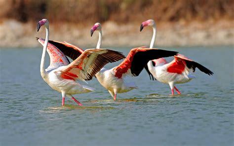 flamingos birds wallpaper flamingos wallpaper