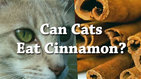 can eat cinnamon can cats eat cheetos pet consider
