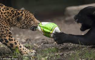 Enemies Of Jaguars Arkansas Toddler Critical After Falling Into Jaguar Pit At