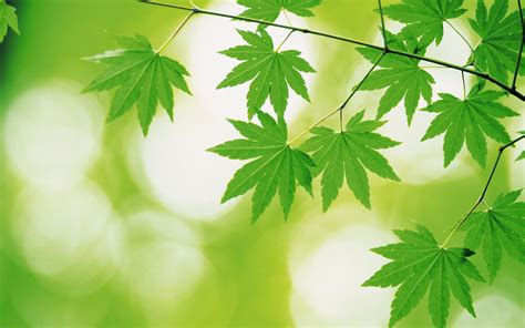 green leaves  green backgrounds