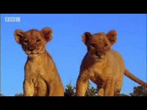 lion film pride spotting strange lions pride bbc animals youtube