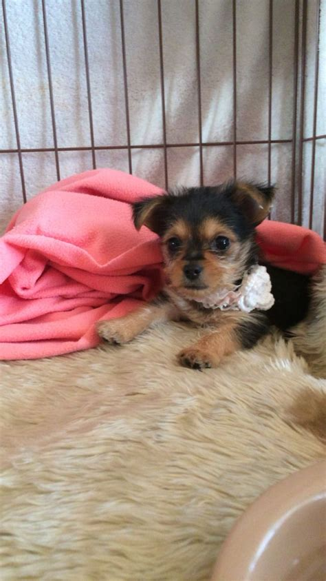 mixed yorkies 17 best images about yorkie mix on chihuahuas yorkies and dogs