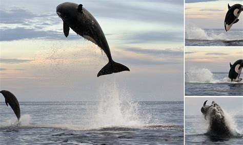 ton orca leaps ft   air  finally capture