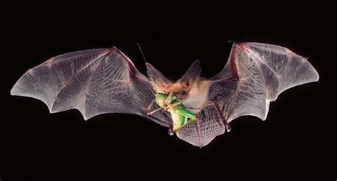 bats you want them here s why and how to attract them