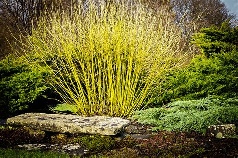 yellow twig dogwood for sale the tree center