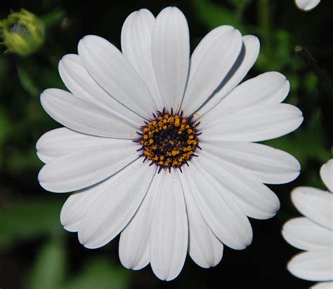 imagenes de flores margaritas fotos de flores margaritas de varios colores n 250 mero de
