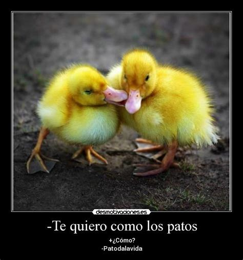 Imagenes Te Quiero Como Los Patos | pin oye te quiero como los patos imagenes de amor para