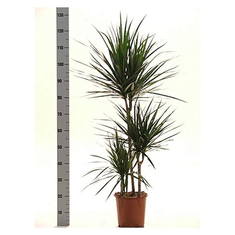 buy house plants now dracaena marginata green bakker com dracaena marginata buy online