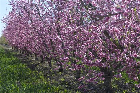 why santa rosa plum trees need pruning and how to do it right