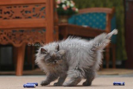Sho Kucing Penumbuh Bulu mengatasi bulu yang tidak tumbuh pada anak kucing