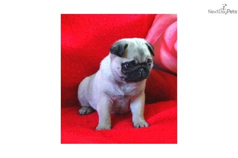 pug puppies buffalo ny pug for sale for 550 near buffalo new york dae00995 4411