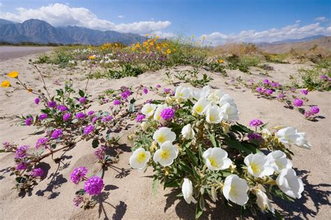 california desert flowers 6 surprising things found in the california desert