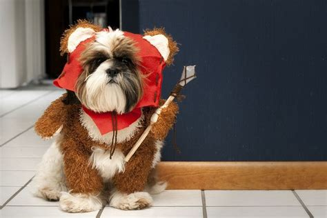 shih tzu ewok haircuts 1000 ideas about ewok dog costume on pinterest dog