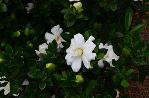 time  prune gardenia bushes garden gab