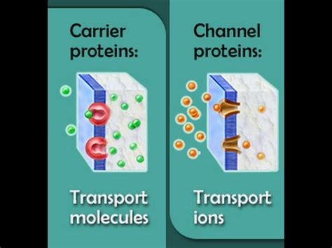 protein channel carrier proteins vs channel proteins