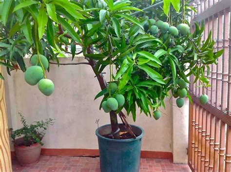 tree container mango tree in container gardening that i