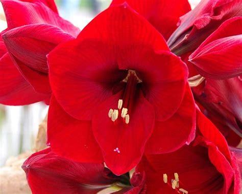 fiori amarillis significato fiori amarillis rosse fiore significato