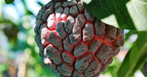 Jual Bibit Arwana Tangerang jual bibit tanaman buah srikaya