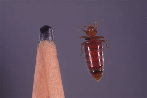 how do bed bugs multiply learn about bed bugs bed bug identification hulett