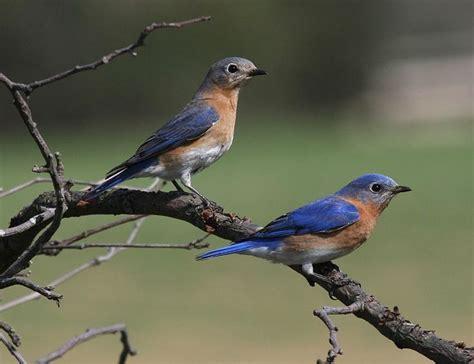 eastern bluebird missouri state bird birdwatching